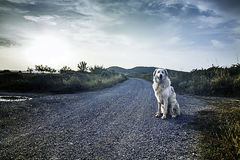 Tramonto del cane del mastino fotografie stock