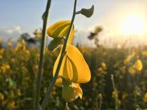 Tramonto 1 del giacimento di fiore della canapa del Bengala fotografia stock