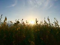 Tramonto 3 del giacimento di fiore della canapa del Bengala fotografie stock