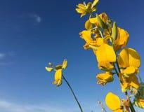 Tramonto 4 del giacimento di fiore della canapa del Bengala fotografia stock libera da diritti