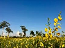 Tramonto 6 del giacimento di fiore della canapa del Bengala immagini stock libere da diritti