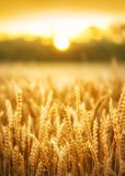 Tramonto del giacimento di grano di estate Fotografia Stock