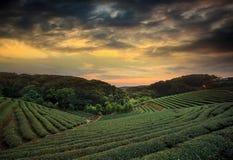 Tramonto del paesaggio della piantagione di tè Fotografia Stock