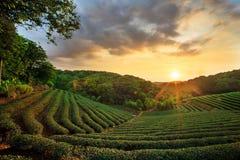 Tramonto del paesaggio della piantagione di tè Fotografia Stock Libera da Diritti