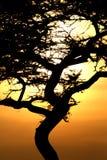Tramonto dell'albero dell'acacia, Serengeti, Africa Fotografia Stock