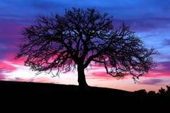 Tramonto dell'albero di quercia Fotografia Stock