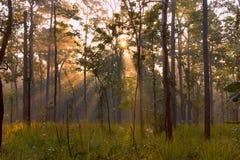Tramonto della foresta Immagine Stock