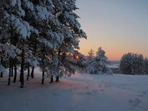 Tramonto di inverno che splende in legno di pino Immagini Stock Libere da Diritti