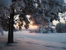 Tramonto di inverno che splende in legno di pino Immagini Stock