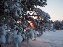 Tramonto di inverno che splende in legno di pino Immagine Stock Libera da Diritti