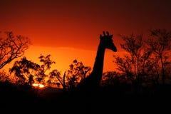 Tramonto di Kruger con la giraffa Fotografie Stock