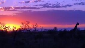 Tramonto di Kruger con la giraffa Immagini Stock Libere da Diritti