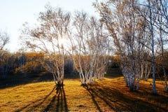 Tramonto di legni e delle ombre di betulla Immagine Stock