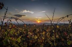 Tramonto dietro le vigne Immagine Stock