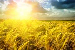 Tramonto dorato sopra il giacimento di grano immagine stock