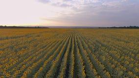 Tramonto dorato sopra un campo dei girasoli agricoltura stock footage