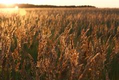 Tramonto e campo di erba gialla Immagini Stock