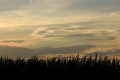 Tramonto e cereale Fotografie Stock Libere da Diritti
