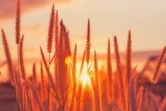 Tramonto/fiore dell'erba con il fondo di tramonto Fiore dell'erba al tramonto Fotografia Stock