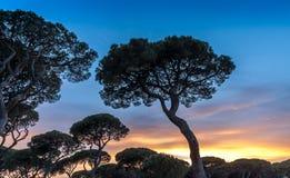 Tramonto italiano sui precedenti dei pini italiani Fotografia Stock