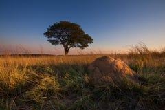 Tramonto magico in Africa con un albero solo sulla collina e su nessun nuvole fotografie stock