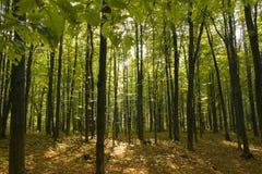 Tramonto nella foresta dell'ontano Immagini Stock