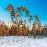 Tramonto o alba in Snowy Forest Landscape Alberi di legni nell'inverno Fotografia Stock Libera da Diritti