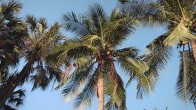 Tramonto in parco asiatico Sun che splende tramite le foglie verdi delle palme Foglie delle oscillazioni della brezza delicata stock footage