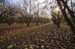 Tramonto sopra gli alberi di nocciole Immagine di colore Fotografia Stock