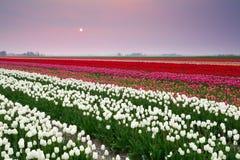 Tramonto sopra il campo variopinto del tulipano Immagini Stock