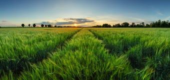 Tramonto sopra il giacimento di grano con il percorso Fotografie Stock Libere da Diritti