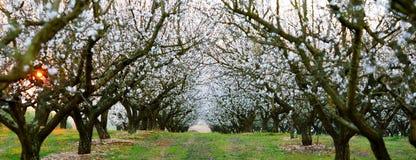 Tramonto sopra un campo degli alberi di mandorla Immagine Stock