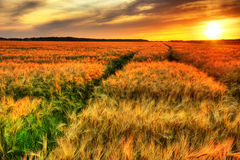 Tramonto Stunning sopra il giacimento del cereale Immagini Stock Libere da Diritti