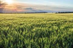 Tramonto su un fondo dei giacimenti di grano Immagine Stock Libera da Diritti