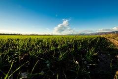 Tramonto sui campi verdi Fotografie Stock Libere da Diritti