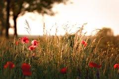 Tramonto sul prato con i fiori del papavero fotografia stock