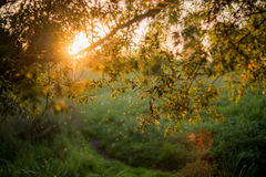 Tramonto tramite le foglie dell'albero Immagini Stock