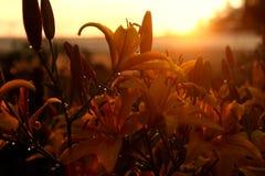 Tramonto un giorno di estate su un giacimento di fiore fotografia stock