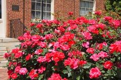 Tramorta le rose Fotografia Stock