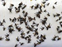 Trampa del pegamento de la mosca Moscas muertas atrapadas en una trampa del pegamento fotos de archivo