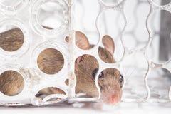 Trampa del ratón con el ratón Imágenes de archivo libres de regalías