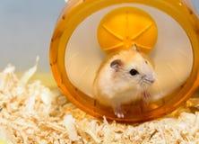 Trampkvarnövning för hamster Arkivfoton