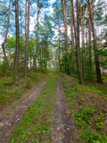 Trampled road in a rarely planted pine forest with a small house on the sidewalk royalty free stock image