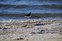 Trampolo con il collo nero al mare California di Salton Fotografia Stock Libera da Diritti