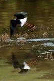 Trampolo pezzato in volo Fotografia Stock Libera da Diritti