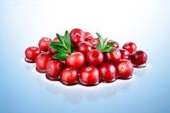 Tranbär i vatten royaltyfri bild