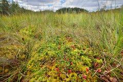 Tranbär och champinjoner som växer i myren Arkivbild