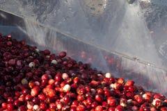 Tranbär som tvättar sig, når att ha skördat Arkivbild