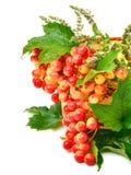 Tranbäret fattar med gröna sidor och mintkaramellen i korgen Arkivfoto