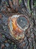Tranche sur un tronc de pin avec des égouttements de résine dans une forêt dans Altai, Russie photo libre de droits